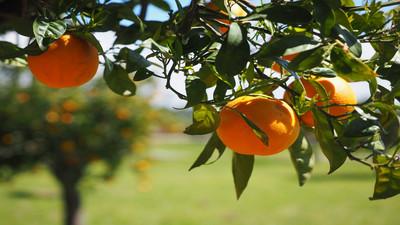 Dlaczego i po co przecinać drzewa owocowe