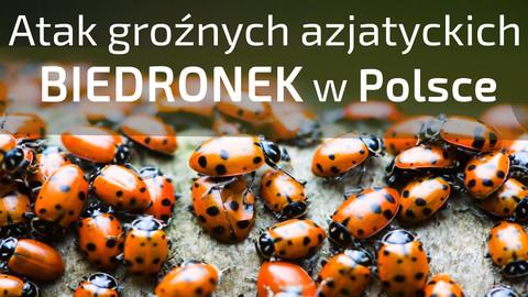 Azjatyckie biedronki w Polsce - czemu ich tak dużo