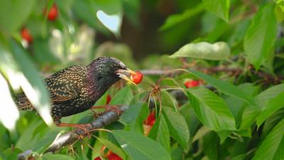Jak chronić owoce przed szpakami